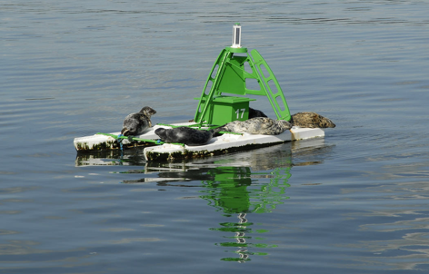 Inchcolm Seals - taking a break on a navigation buoy.