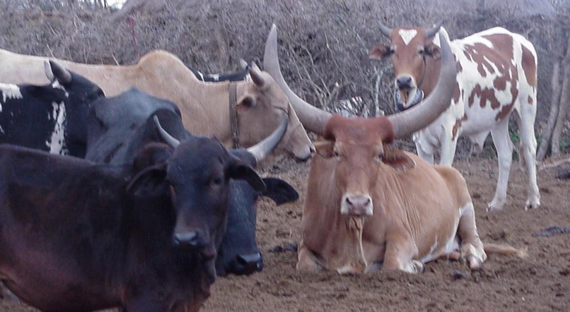 Long horned bull, sitting - Tanzania